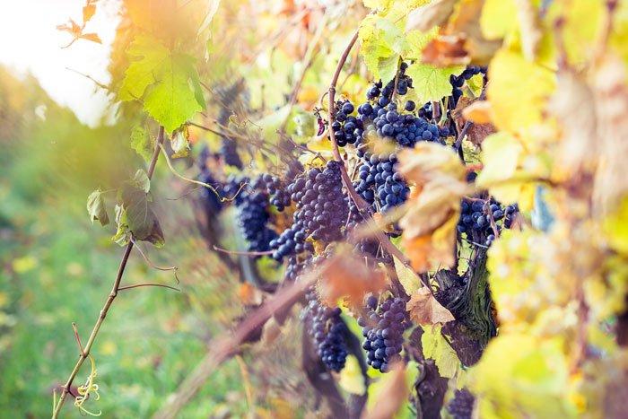 Vino rosso della California
